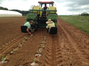 planting broccoli after a cowpea cover crop